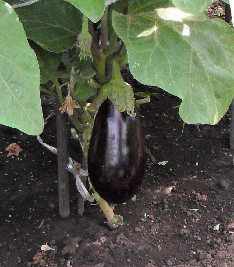 Правила успешного выращивания рассады баклажанов