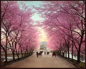 Cherry Blossoms Road Into Old Akasaka