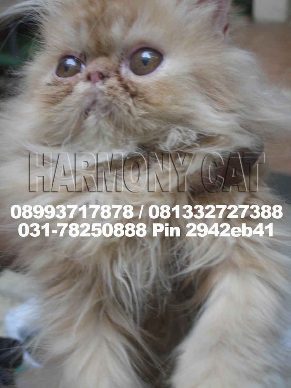Hamster Dan Kucing Persia Murah Surabaya Kucing Persia