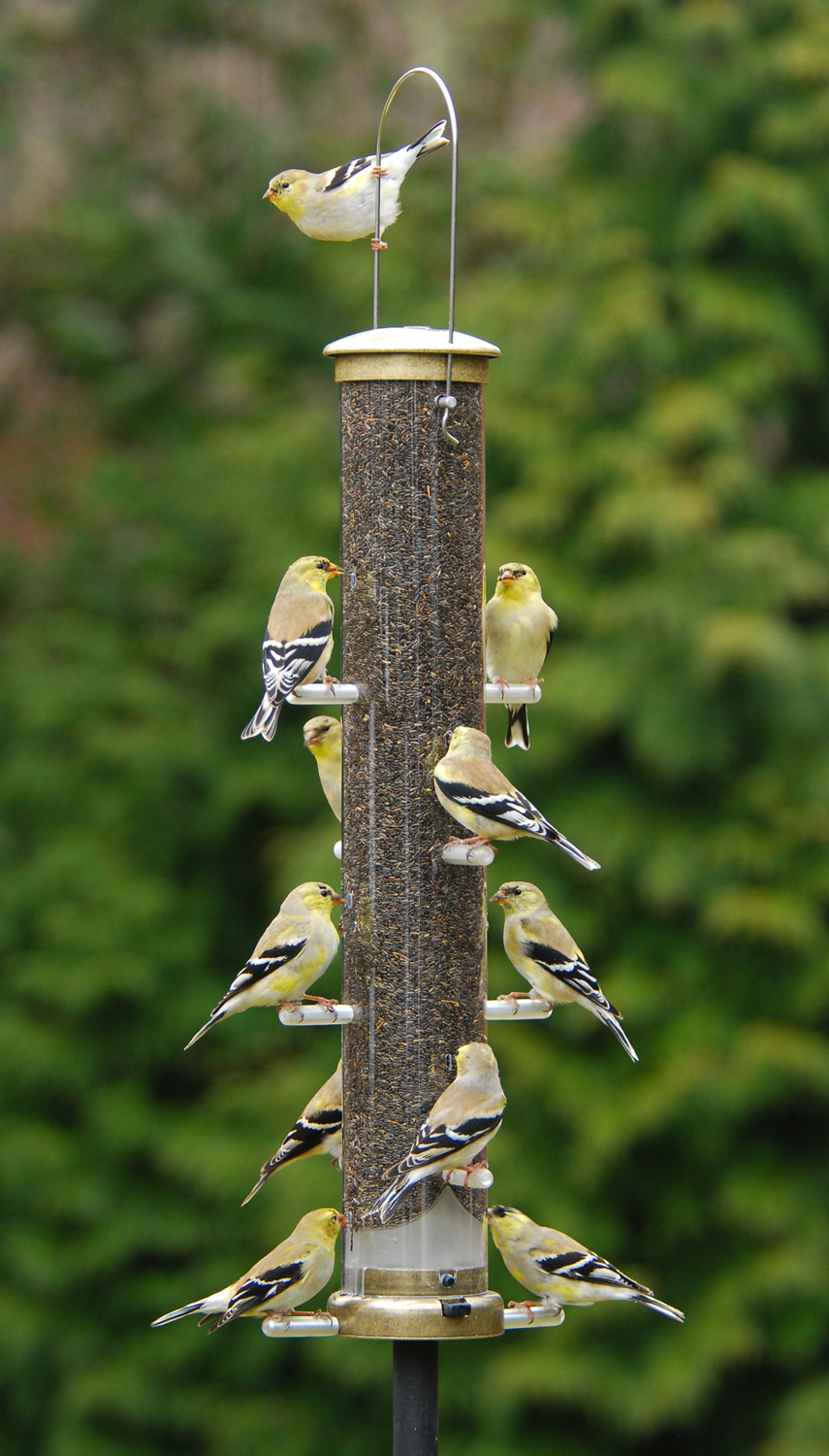 bird tube finch feeder selection chirper backyard feeders