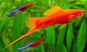 Kılıç kuyruk akvaryum balığı yaşamı