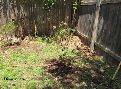 Divasofthedirt,southern wax myrtle