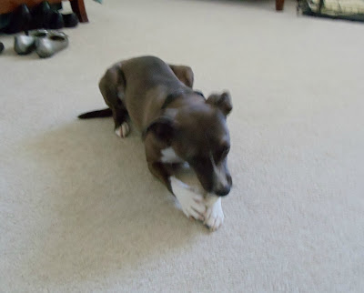 Daisy chewing on her Bone