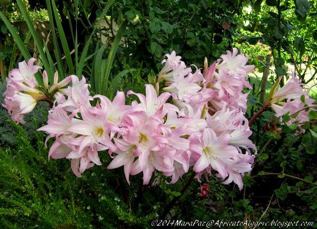 Belladonna lilies