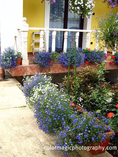 Lobelia in hanging baskets, borders and window boxes
