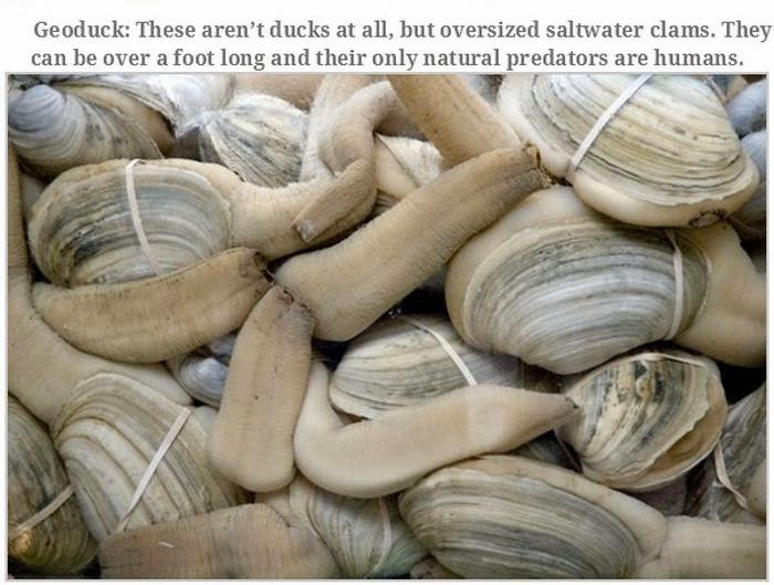 Weird animals (20 pics), strange animal pictures, geoduck