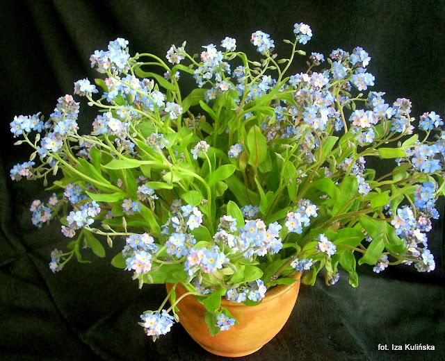 kwiaty,  niezabudki, niezapominajka, wiosan, święto