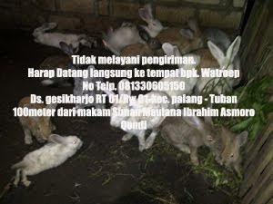Peternakan Kelinci Di Tuban