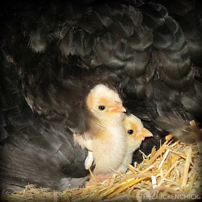 Polish crested chicks www.The-chicken-chick.com