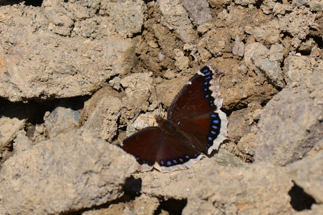 Mourning Cloak Butterfly in spring