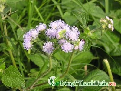 chữa viêm mũi dị ứng hiệu quả với hoa ngũ sắc