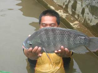 Ikan Nila Air Tawar