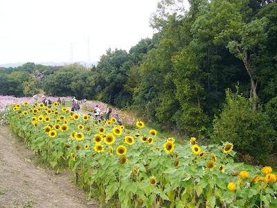 万博公園・自然文化園 ひまわり