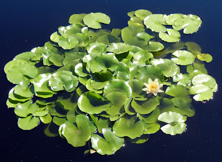 Water lilies at the Olbrich Botanical Gardens in Madison, Wisconsin