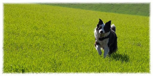 ELVIRAPASTOR-BORDERCOLLIE