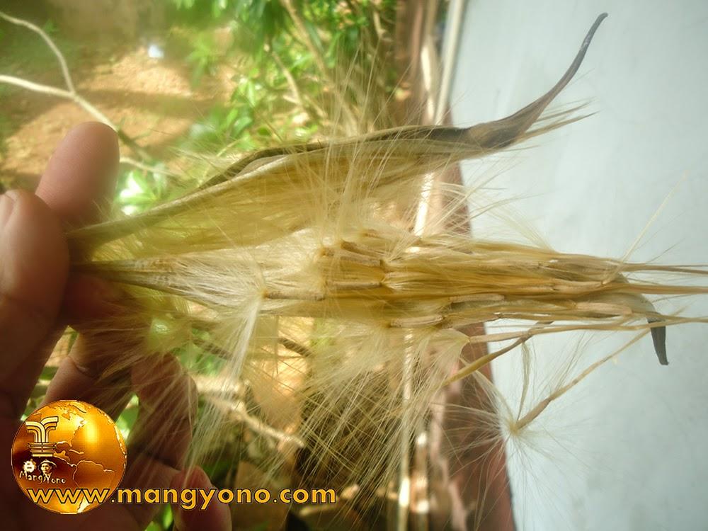 Ini nih penampakan Biji Adenium Obesum / kamboja Jepang