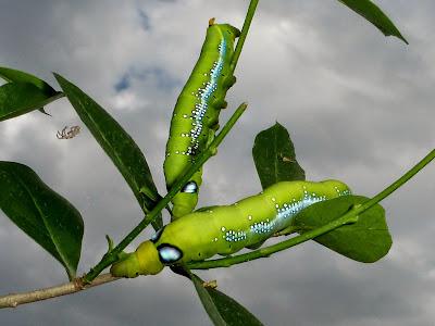 Daphnis nerii caterpillar