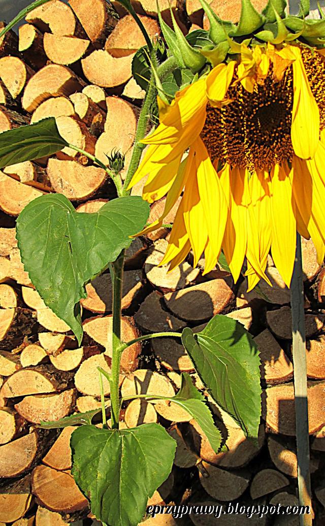Słonecznik właściwości