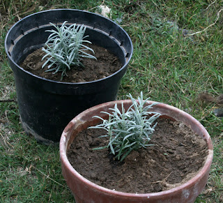 A planted the lavender into pots
