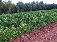 Ceps emparrats de les vinyes de Fransola