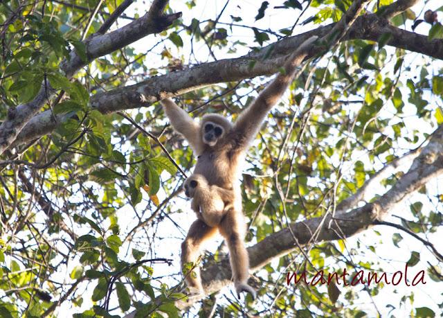 Kaeng Krachan, White Handed Gibbon