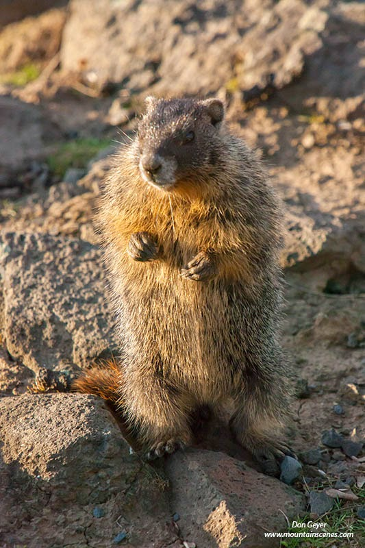 A yellow-bellied marmot stands alert in the early morning light at Palouse Falls State Park, Washington.