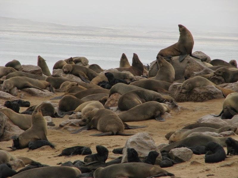 Namibia - seals