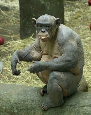 Simpanse Gundul mungkin adalah sebutan yang cocok untuk kera simpanse unil satu ini.