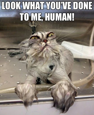 Wet cat says, look what you've done to me human!