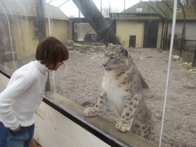 Eyeballing a snow leopard