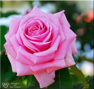 Epcot Rose Garden