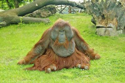 Orangutans in Koelner Zoo