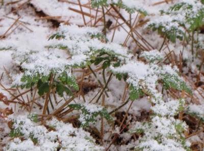 snow on herb robert