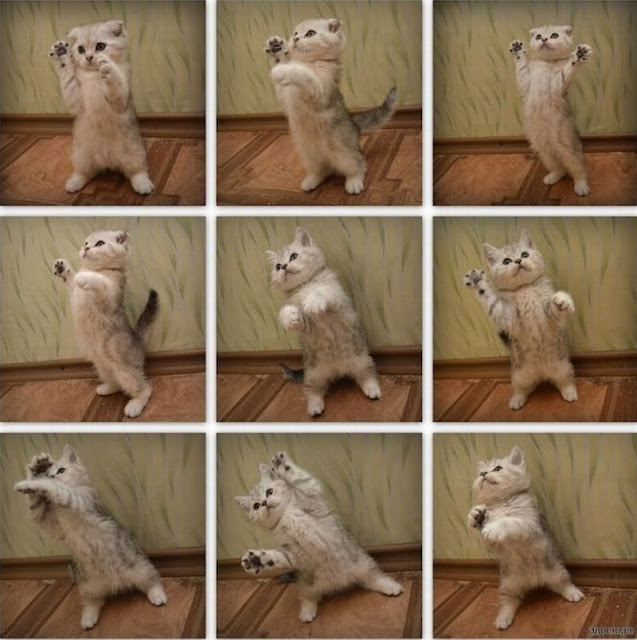 funny cat pictures, dancing kitten