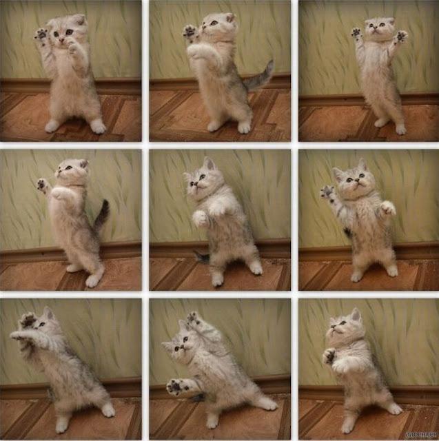 funny cat pictures, dancing kitten
