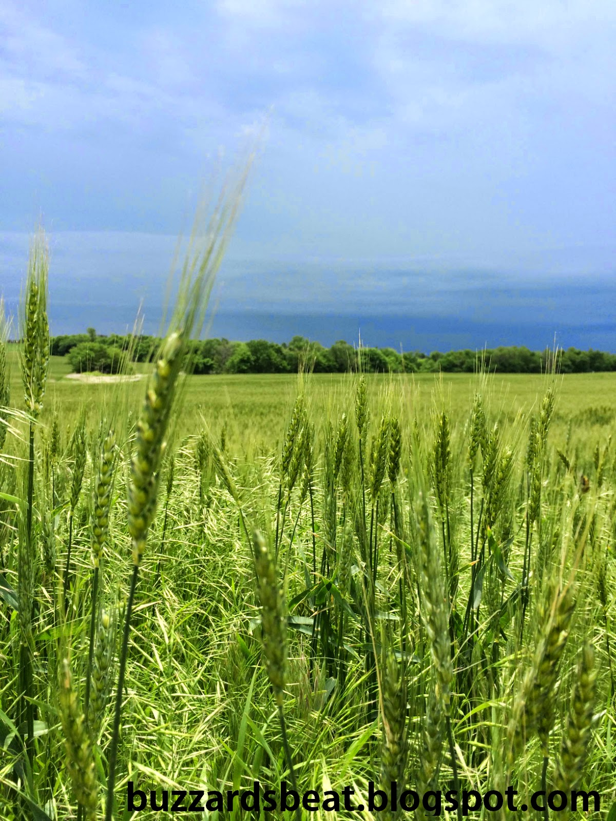 A spring wheat field in Kansas