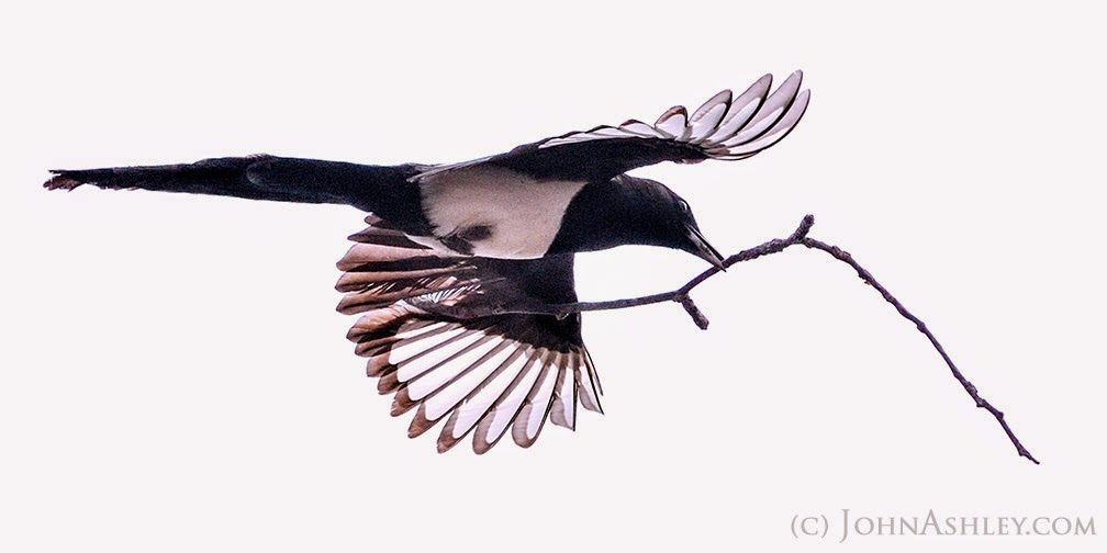 Black-billed Magpie carrying nesting material (c) John Ashley