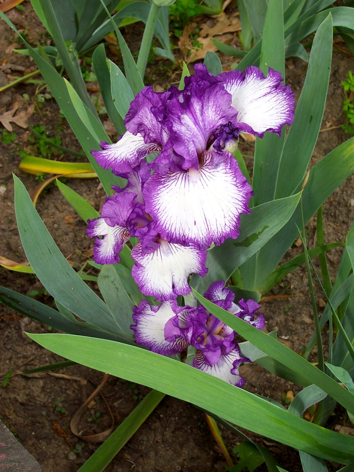 Samplings from Spring Creek Iris The State Flower of Tennessee