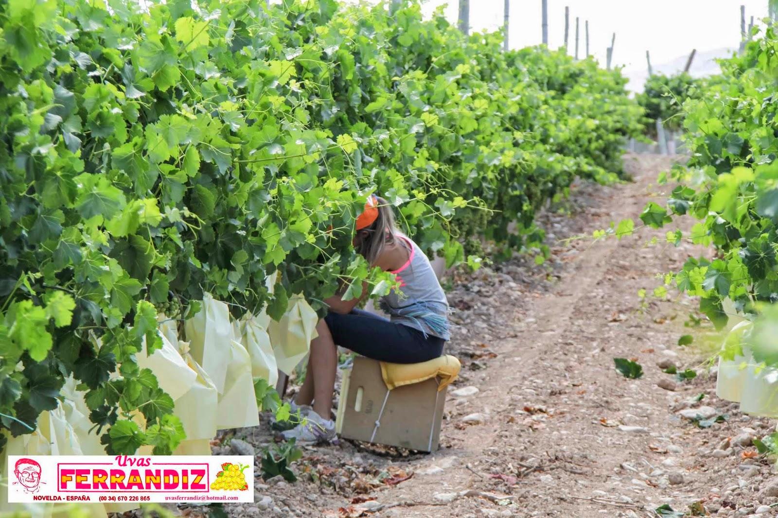 Uvas ferrandiz el embolsado de la uva de mesa - Variedades de uva de mesa ...