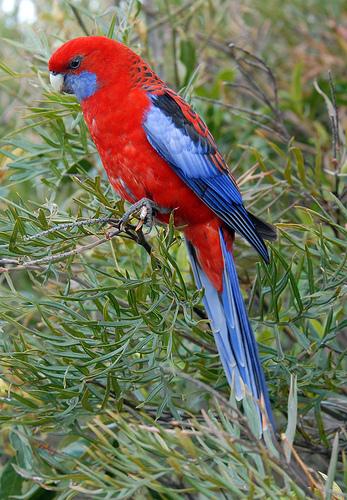 Papağan Rosella inanılmaz güzel bir kuştur