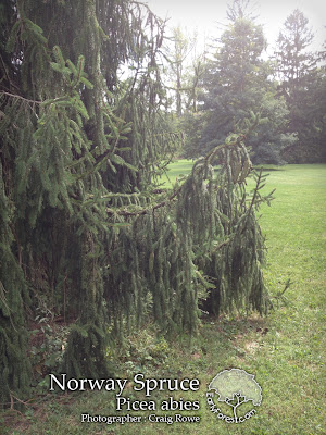 Norway Spruce Branching