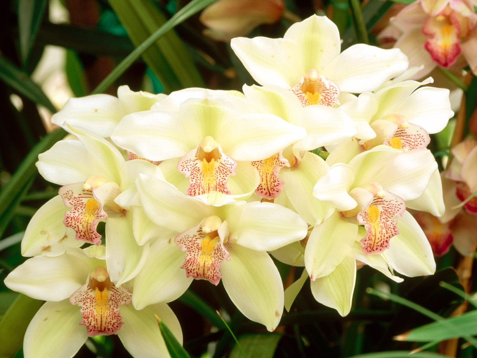 http://2.bp.blogspot.com/-GS_uZ93kKBQ/Tf9_DhW82qI/AAAAAAAAAVM/Q4W0_0fRixU/s1600/Cymbidium+Orchids+Flowers+Wallpapers+3.jpg