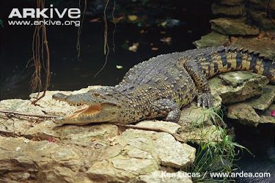 endangered Crocodylus