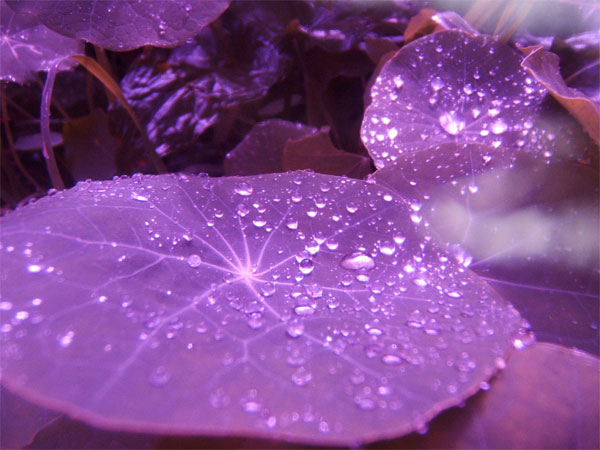 Natural Beauty Purple Leaves Background