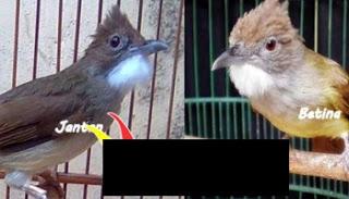 Burung Cucak Jenggot : Cara Membedakan Burung Cucak Jenggot Jantan Dan Betina