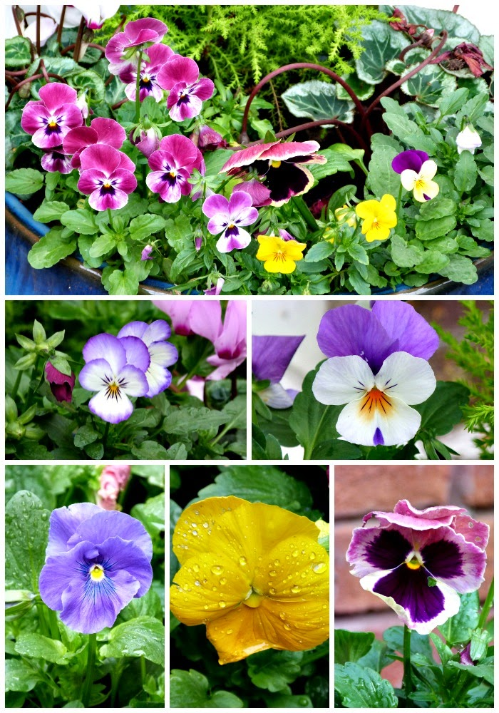 winter pansies and violas