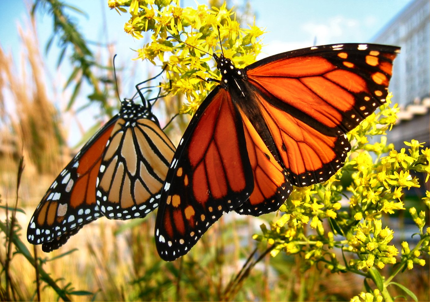 monarch butterfly Save the monarch butterfly 1k likes with the fast declining population of the monarch butterflies, we should all do our bit to protect them, one.