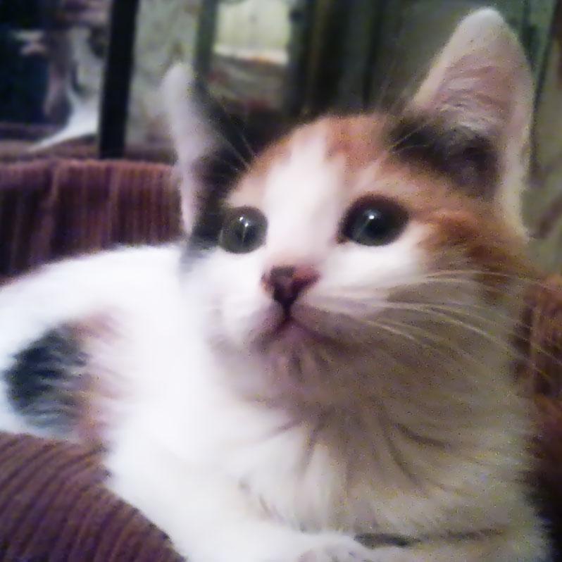 котенок трехцветный Мася kitten Masya Ro-Ksana.blogspot.com
