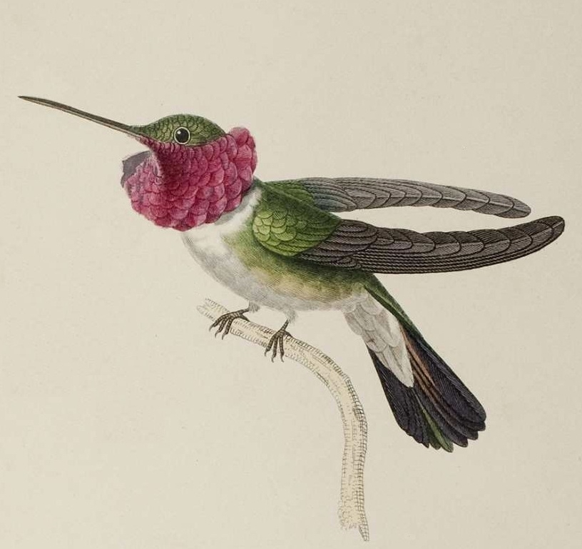 colourful illustration of Trochilidae species, 1800s