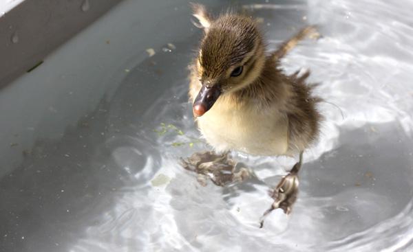 水遊びする雛アヒル